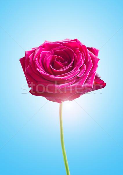 Single Pink Rose Stock photo © solarseven
