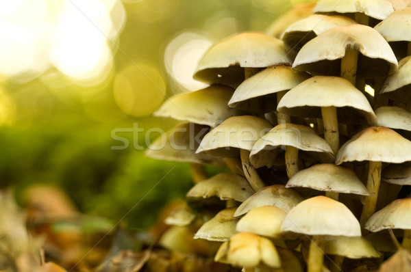 Mushrooms On A Tree Trunk Stock photo © solarseven
