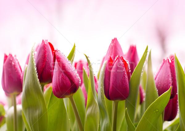 Fresco tulipas orvalho gotas crescente páscoa Foto stock © solarseven