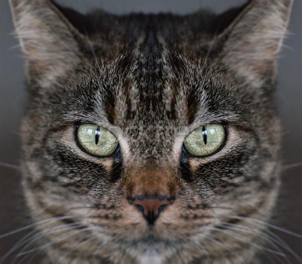 Tabby cat face Stock photo © sophie_mcaulay