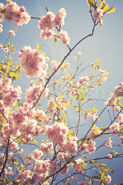 Cherry blossoms Stock photo © sophie_mcaulay