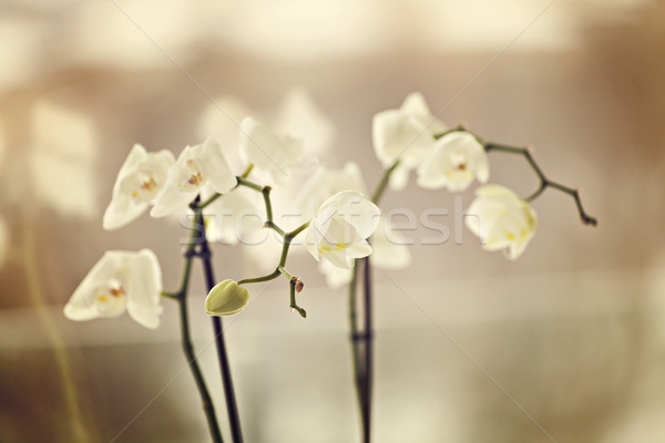 Fragile orchids Stock photo © sophie_mcaulay
