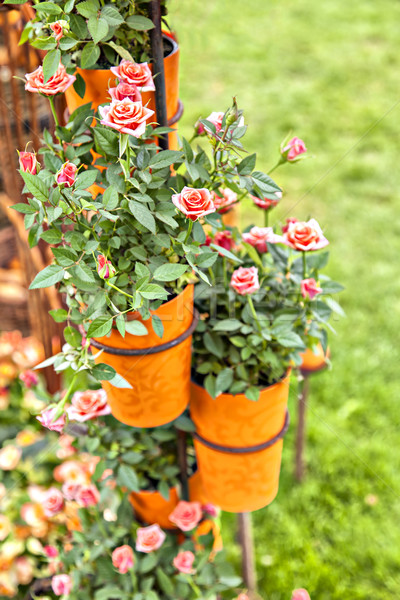 Potted roses Stock photo © sophie_mcaulay