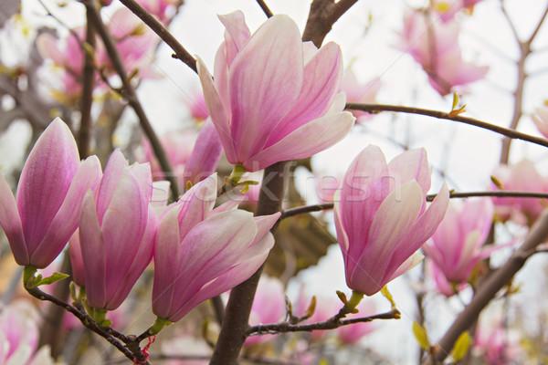 Magnolia boom afbeelding vol bloeien Stockfoto © sophie_mcaulay
