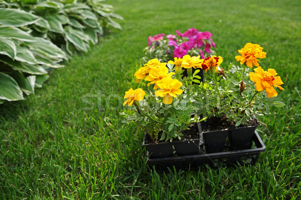 Marigolds and Impatiens waiting to be planted Stock photo © soupstock