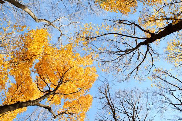 Seizoen- overgang vallen bomen blauwe hemel Stockfoto © soupstock