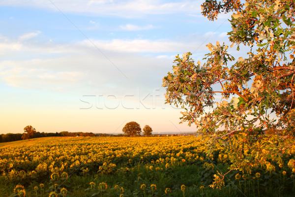 Campo girasoli rurale farm tramonto Foto d'archivio © soupstock