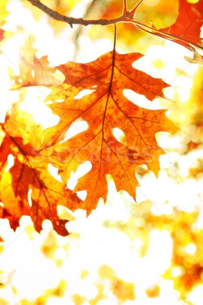 Oranje Geel vallen bladeren Stockfoto © soupstock
