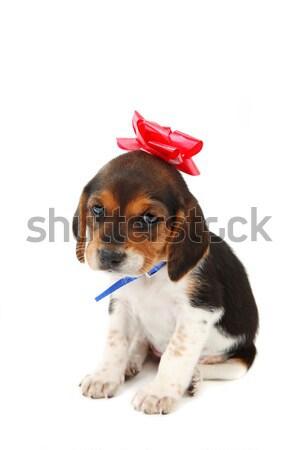 Beagle cucciolo arco testa attesa cane Foto d'archivio © soupstock