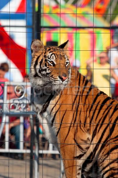Tigre show gabbia fiera faccia Foto d'archivio © soupstock