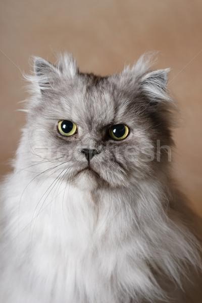 Portret perzische kat zilver grijs ogen Stockfoto © soupstock