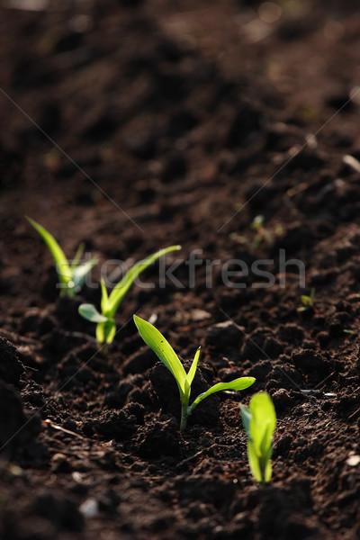 Groeiend mais drie zaailingen uit vuil Stockfoto © soupstock