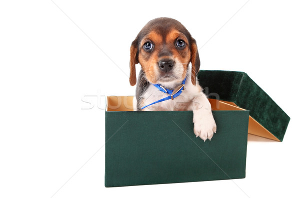 Beagle puppy in a box Stock photo © soupstock