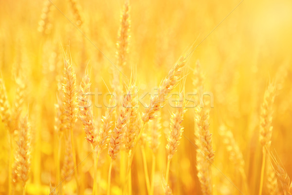 Golden Wheat Stock photo © soupstock
