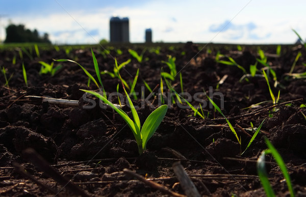 New Corn in field Stock photo © soupstock