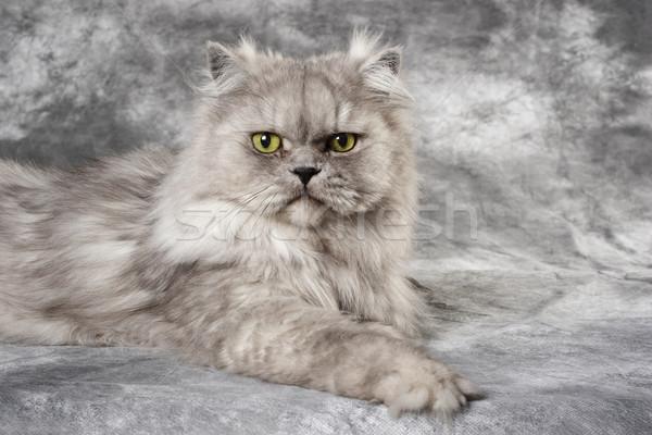 グレー ペルシャ猫 グレー 座って 写真 背景 ストックフォト © soupstock