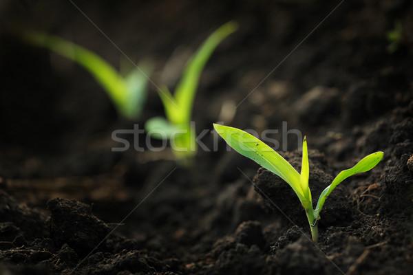 Crescita mais campo piantine foglia impianti Foto d'archivio © soupstock