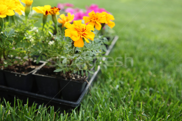 Market pack of Marigolds and Impatiens waiting to be planted Stock photo © soupstock