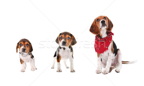Beagle puppy growth stages Stock photo © soupstock