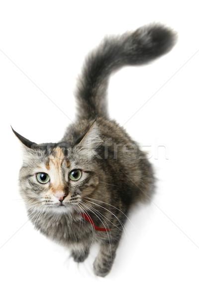 猫 かわいい 白 ストックフォト © spanishalex