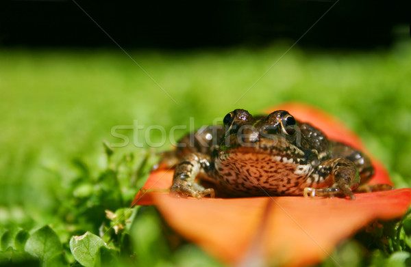 Frog on Leaf Stock photo © spanishalex