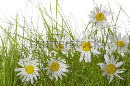 Százszorszépek fű százszorszép virágok zöld fű fehér Stock fotó © spanishalex