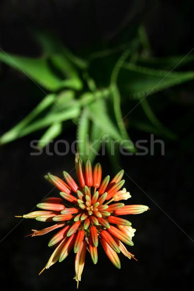 アロエ 花 工場 暗い ストックフォト © spanishalex