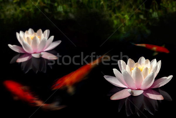 Lilypond Stock photo © spanishalex