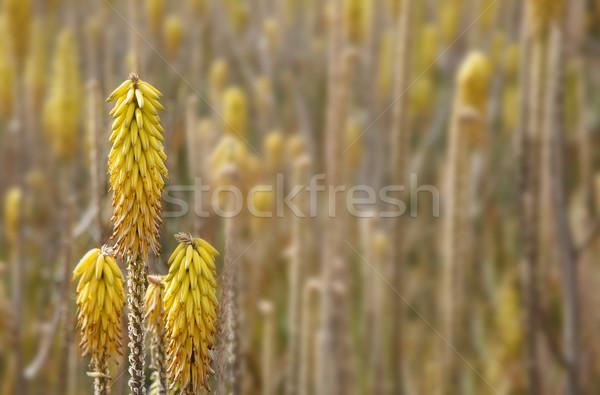 Aloés flores campo primeiro plano foco Foto stock © spanishalex
