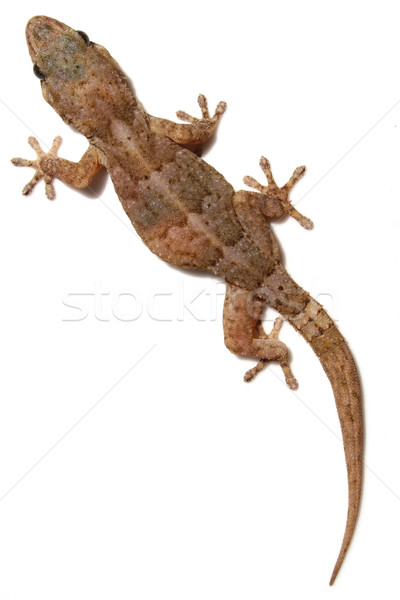 Gecko blanche mur animaux animal isolé Photo stock © spanishalex