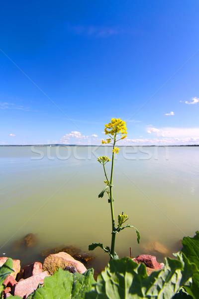 Kwiat jezioro Balaton Węgry Europie Zdjęcia stock © Spectral