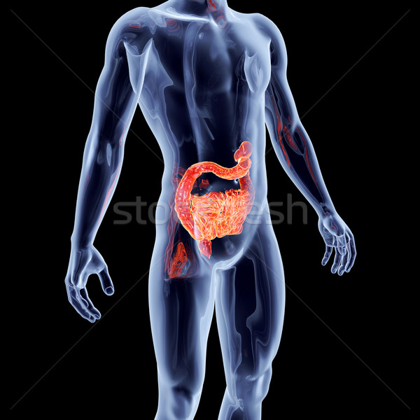 Internal Organs - Intestines	 Stock photo © Spectral