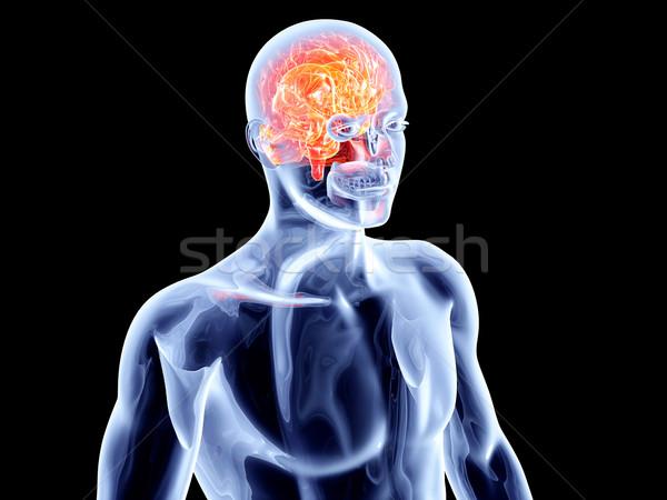 Intern hersenen 3D gerenderd Stockfoto © Spectral