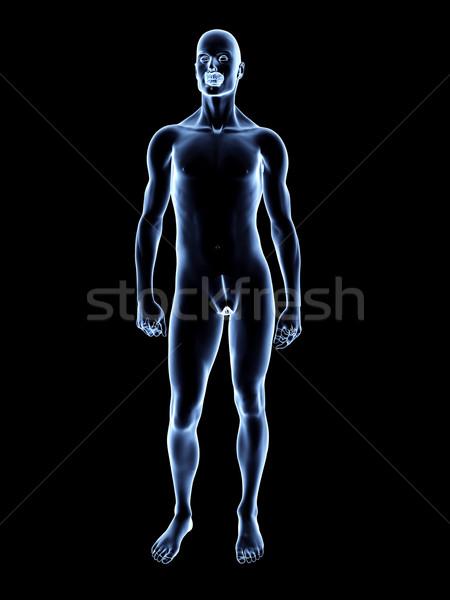 Xray mannelijke anatomie 3D gerenderd illustratie Stockfoto © Spectral