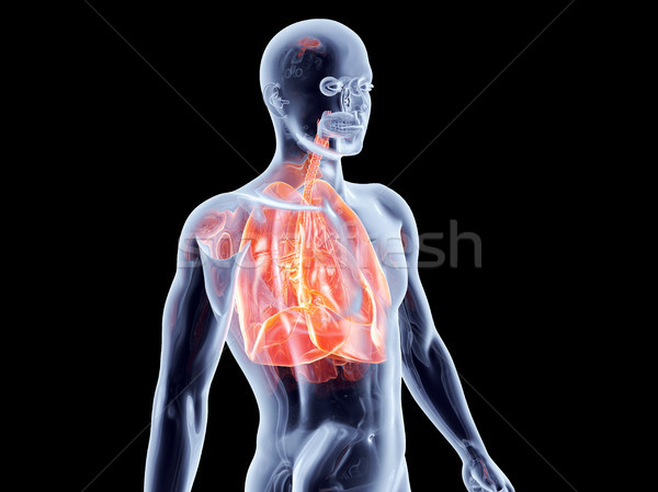 Internal Organs - Lungs	 Stock photo © Spectral