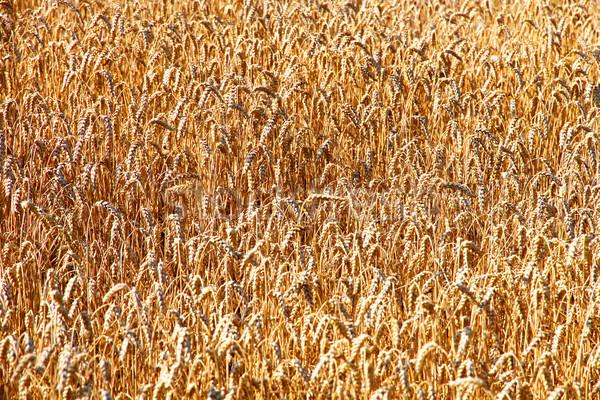 Búzamező közelkép étel nap tájkép farm Stock fotó © Spectral