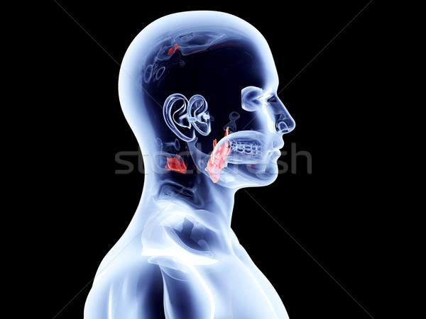 Intern strottehoofd 3D gerenderd anatomisch Stockfoto © Spectral