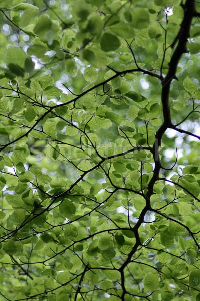 Leafy green background Stock photo © speedfighter