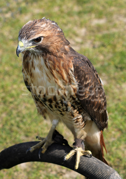 Hawk bird Stock photo © speedfighter