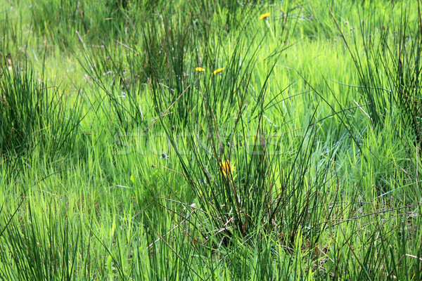 Long grassy green meadow Stock photo © speedfighter