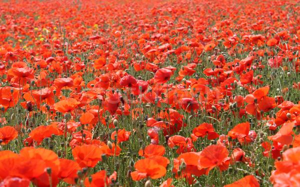 Red poppy field Stock photo © speedfighter
