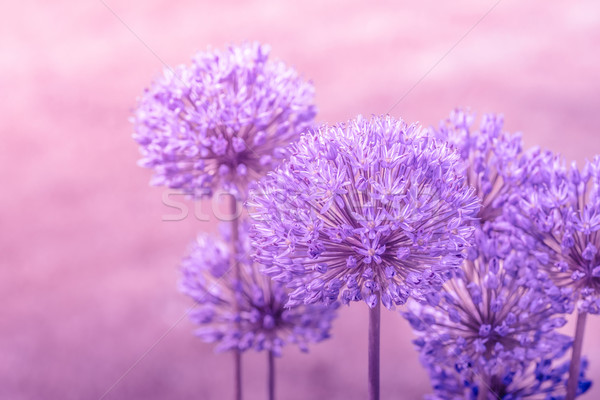 Allium Giganteum in pink colors Stock photo © Sportactive