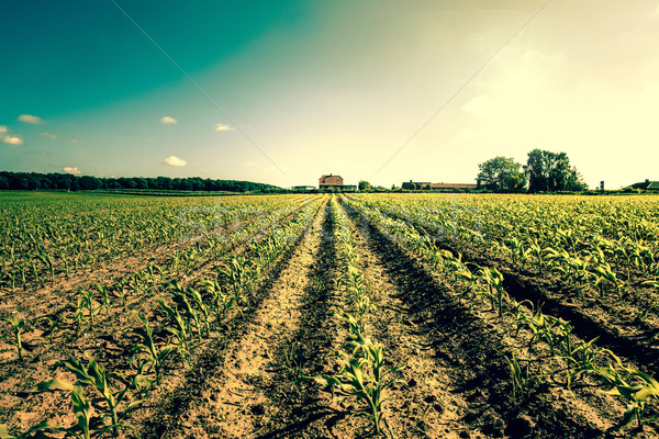 Field crops leading to a farm house Stock photo © Sportactive