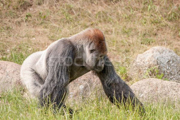 Big gorilla walking in the grass Stock photo © Sportactive