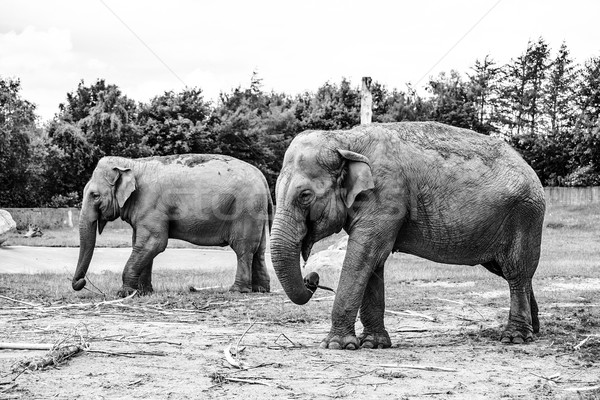 Black and white photo of elephants Stock photo © Sportactive
