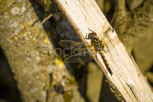 Leucorrhinia rubicunda sitting on a branch Stock photo © Sportactive
