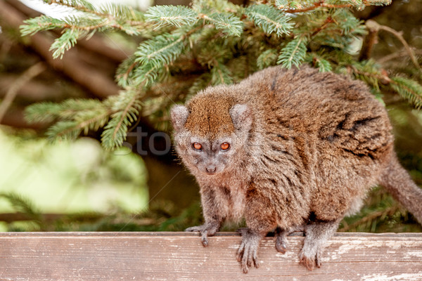 Gentle lemur looking at you Stock photo © Sportactive