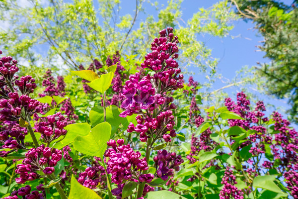 Buddleja bush in a garden Stock photo © Sportactive