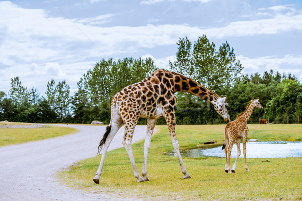 Giraffe and calf walking to the water Stock photo © Sportactive