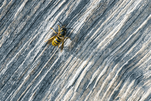Big wasp on a piece of wood Stock photo © Sportactive